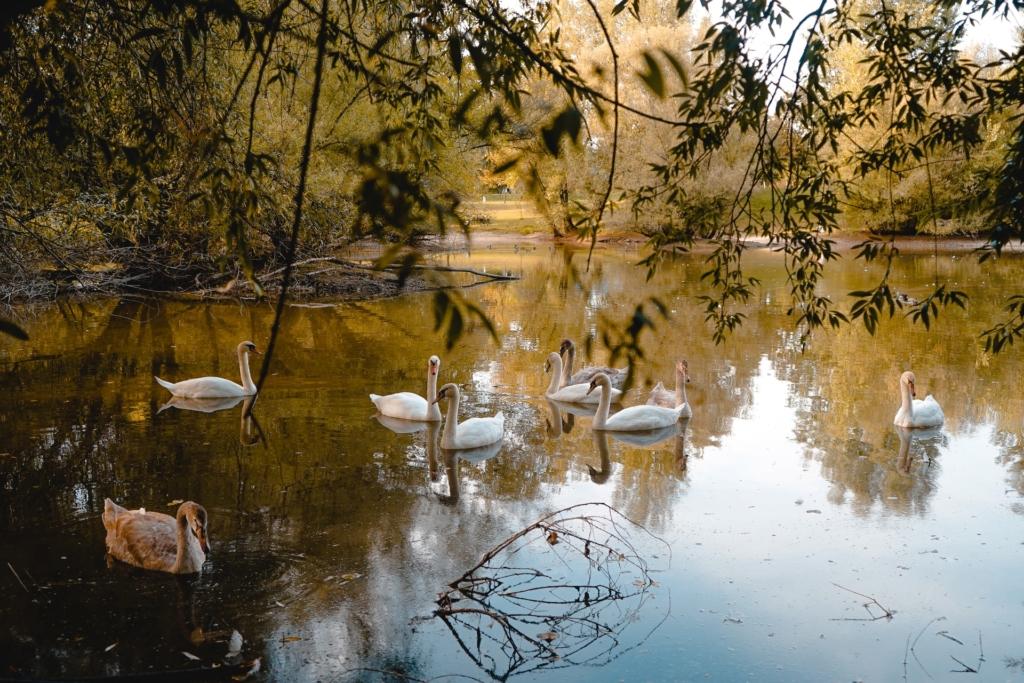 Swans in a lake in Zagreb