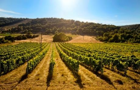 Vineyard on Korcula Island