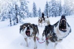 Huskeys in Finland