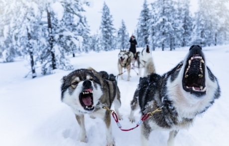 Huskeys in Finland