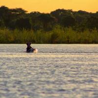 Hippo jumping out of the Zambezi River