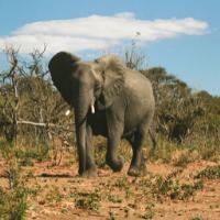 Elephant walking in Chobe National Park