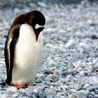 Penguin standing on pebbles in Antarctica