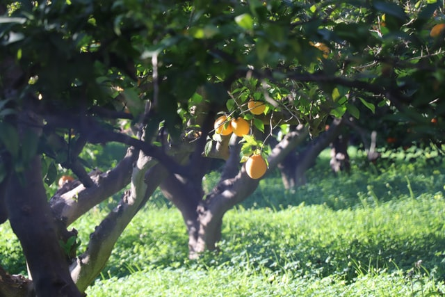 Ripe oranges hanging from a tree