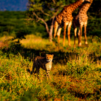 Cheetah walking in a game park with Giraffe in the background