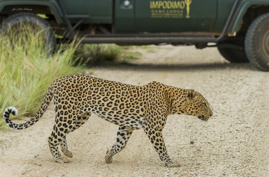 Leopard walking next to a safari vehicle