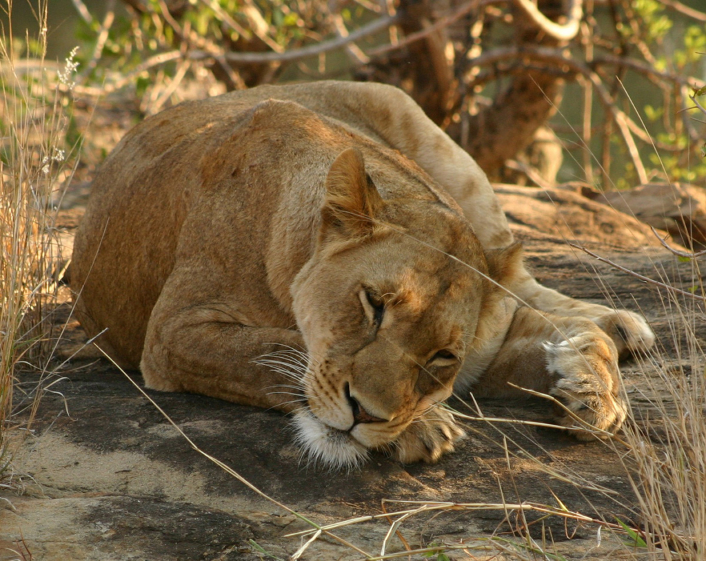 Lioness sleeping on a rock