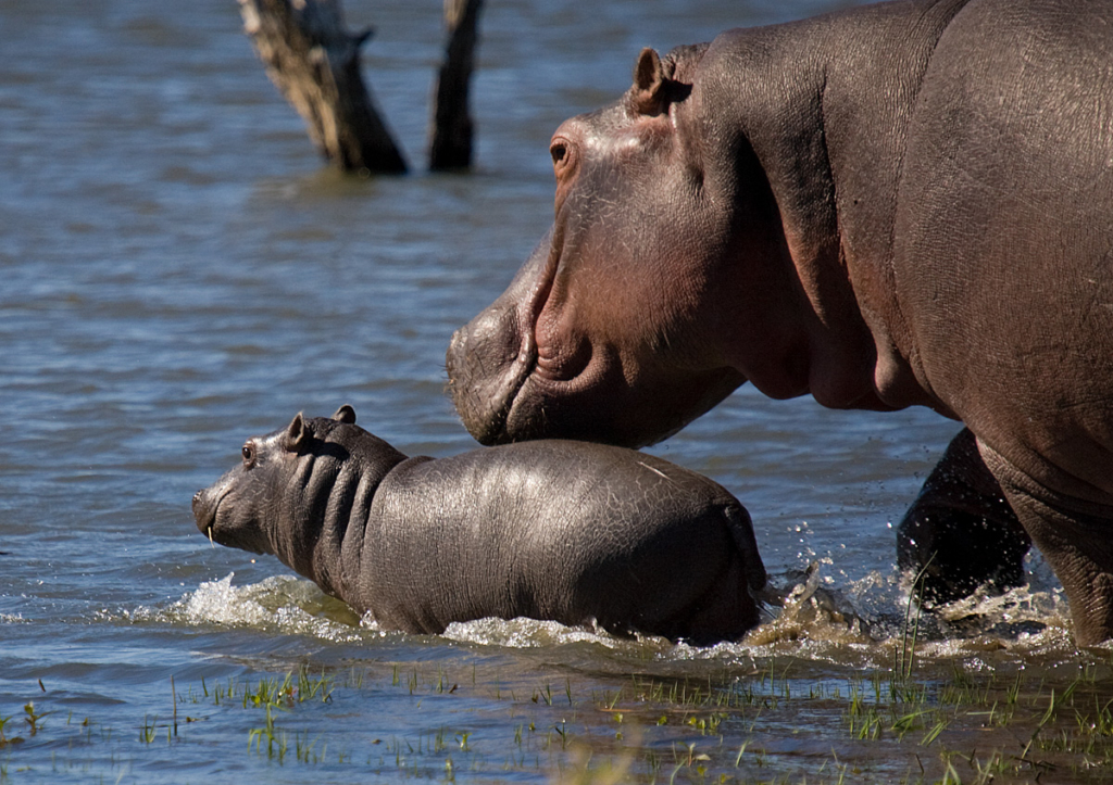 Hippo mom walking with her calf in water