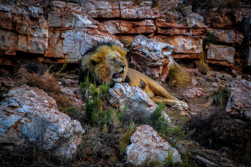 Lion lying by a rocky land formation