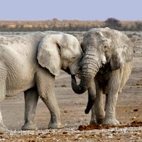 Elephants showing affection to one another