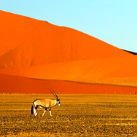 Oryx Gazelle walking in the Namib Desert