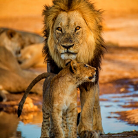 Male lion standing with a cub playing between his legs