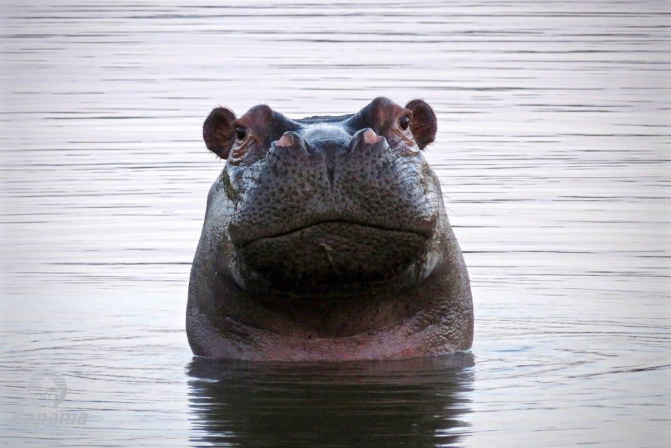 Hippo popping its head out of water