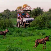 Game drive in Zimbabwe viewing Wild Dogs
