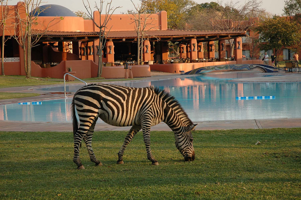 Zebra eating grass at a lodge