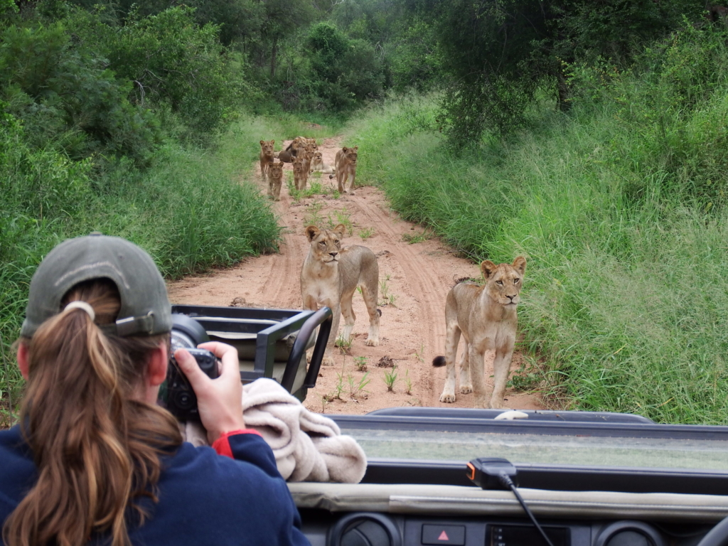 Lady taking pictures of Lions from a Game Vehicle