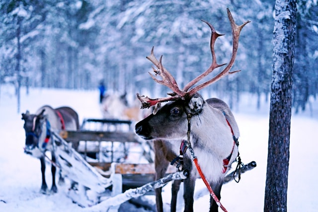 Reindeer hooked up to a sleigh